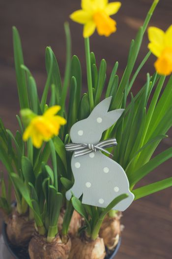 The Wooden Polka dot Hare and the yellow daffodils. Easter postcard concept.