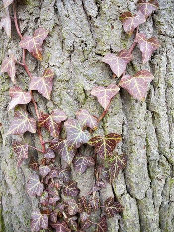 close up dying dead red dry ivy leaves on bark; essex; england; uk