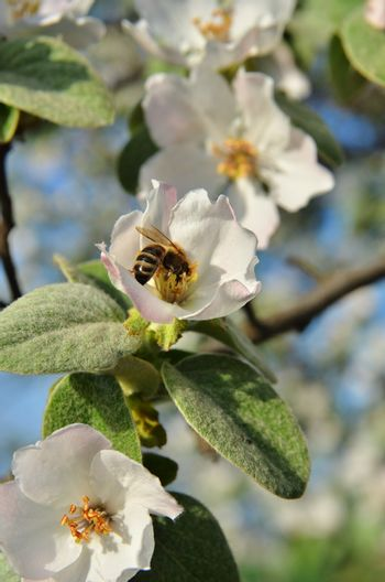 The bee sits on the inflorescence of the tree