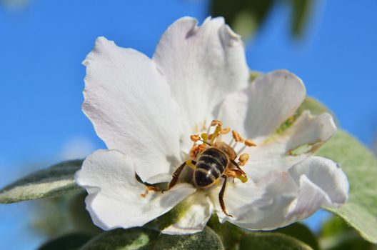 Bee on the apple tree inflorescence