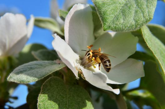 A bee in the inflorescence under the leaves