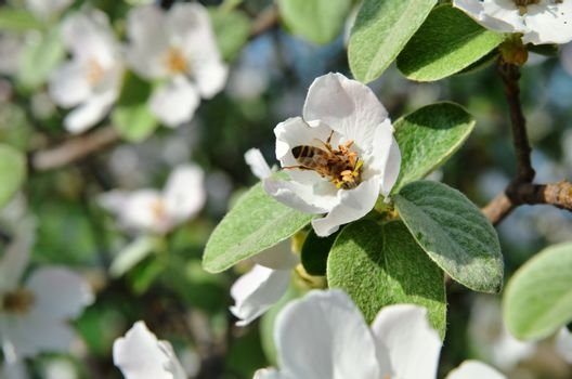 The bee sits on apple inflorescence