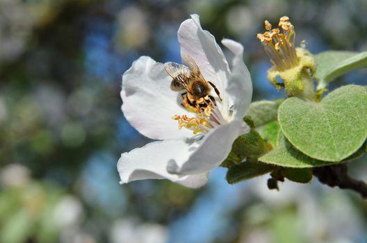 Bee on apple inflorescence
