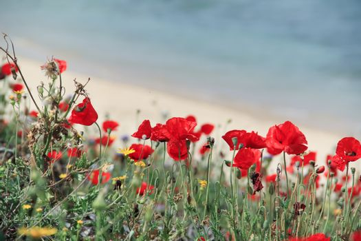 Red wild anemones on the seashore in spring. With a copyspace
