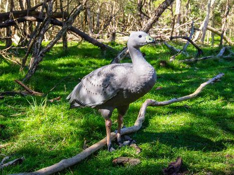 Cape Barren goose in the grass