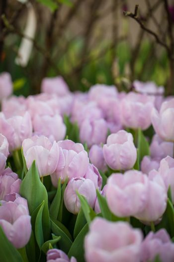 Blossoming Mistic Prince tulips, selective focus, spring postcard background concept.
