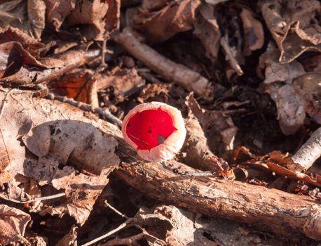 beautiful red close up growing mushroom cap forest floor february spring - scarlet elf cup; essex; england; uk