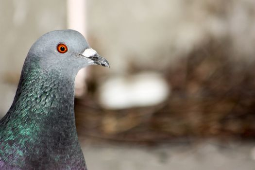 Pigeon watches the eggs in the city. Protection