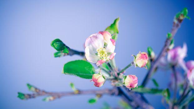 Gentle apple tree flowers