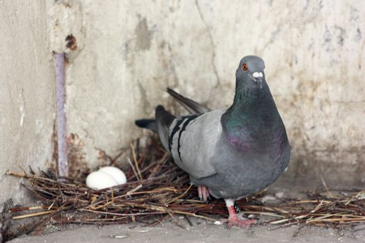 Pigeon guards his children in a nest