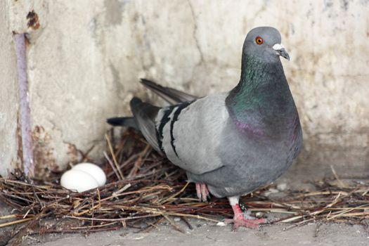 Dove hatching eggs. Photo