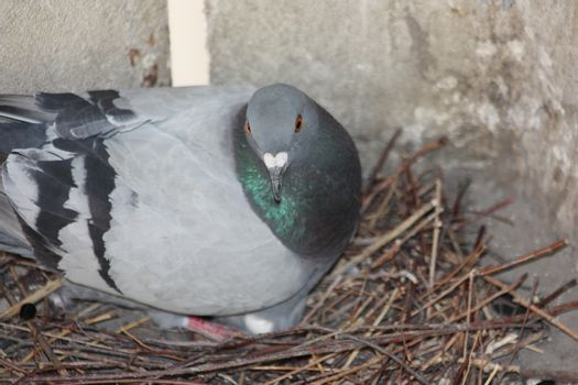 Pigeon hatch eggs in the nest