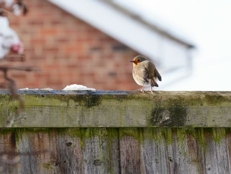 Robin with puffed up plumage perches on a wooden fence in cold winter weather