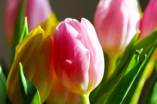 Beautiful Bouquet Pink and Yellow Tulip on Dark Background