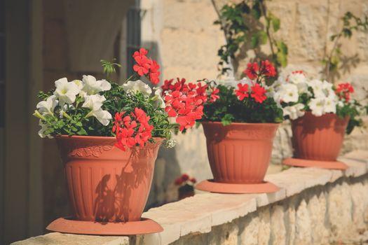 Large Mediterranean Geranium potted