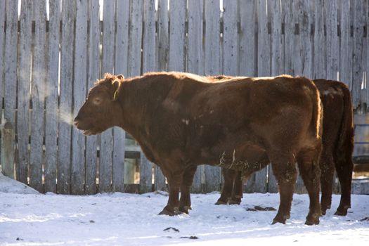 Cattle Winter Cold breath vapor in Saskatchewan Canada