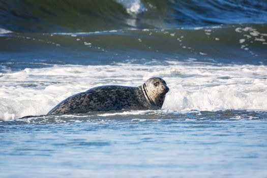 Seal in the Surf