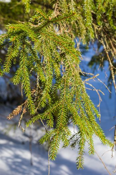 Spruce branch in spring sun, selective focus