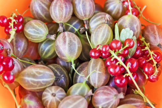 Background with fresh gooseberries and red currants