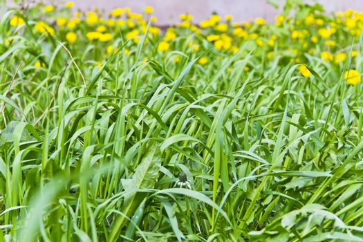 Saturate green grass texture and yelow dandelions backgrounds