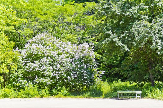 Empty bench near large lilac bush in summer park