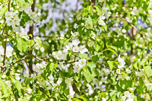 Green branch with white apple flowers in spring time