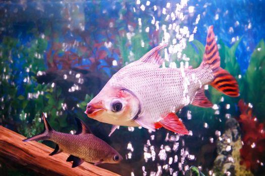 Two aquarium fishes Semaprochilodus taeniurus and Balantiocheilus melanopterus