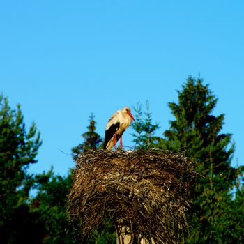 White Stork Stand in His Nest between Green Trees against Blue Sky Outdoors