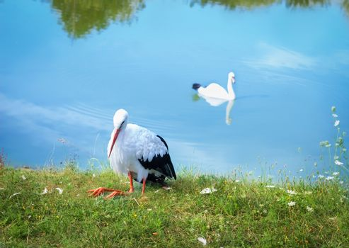 White stork with black wings on bank and waterfowl swan