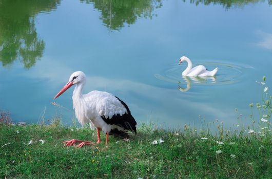 Two white birds, sitting stork and waterfowl swan on lake