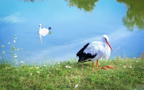 White stork on bank and waterfowl swan on lake
