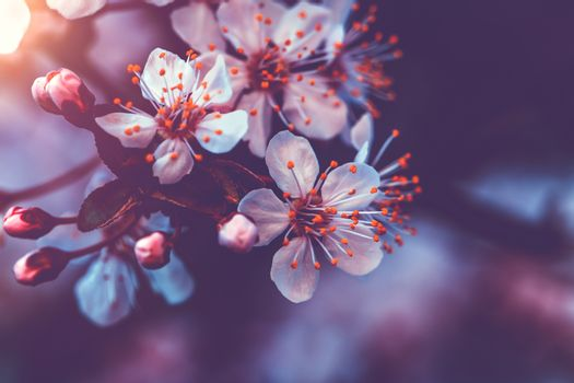 Gentle cherry blossom
