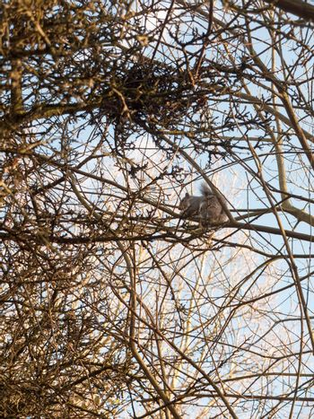 grey squirrel up in tree canopy branches eating; essex; england; uk