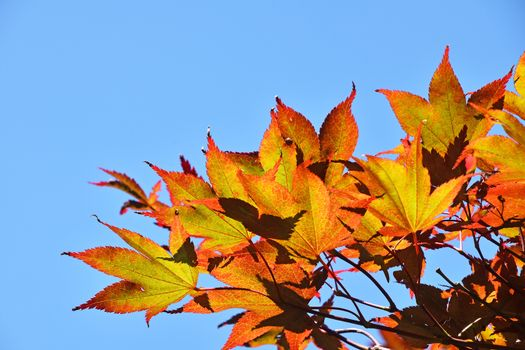 Close up red and yellow acer leaves over blue sky