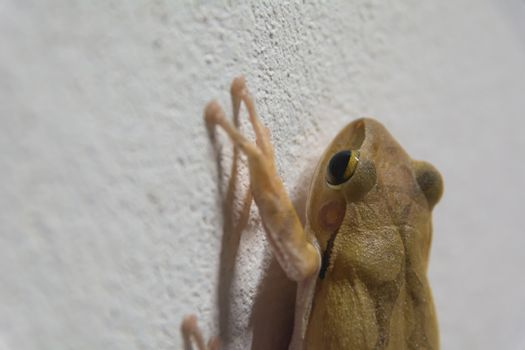 black eyed brown frog on the wall and looking for something.
