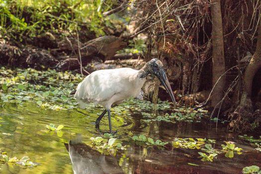 Wood stork Mycteria Americana hunts for prey and eats