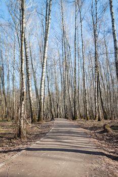 Spring sunshine birch grove, Russian landscape