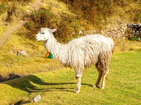 White furry llama