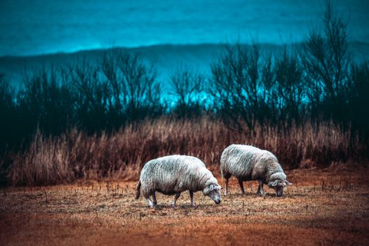 Two sheeps grazing on the field