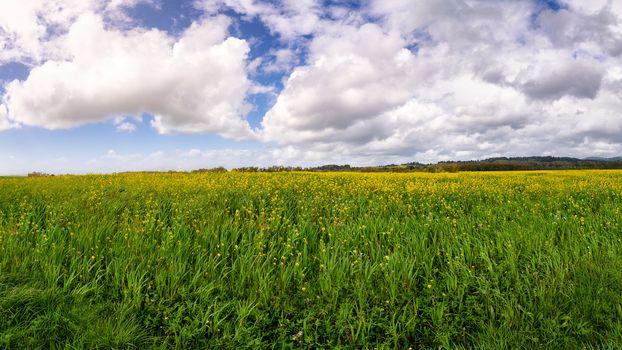 Mustard Flowers at the Marsh