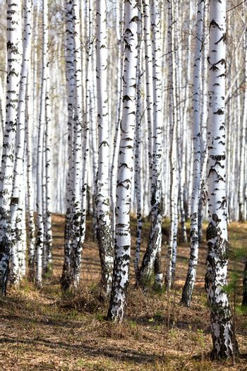 Birch forest in spring time