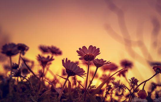 Daisy field on sunset