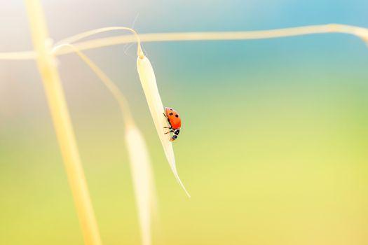 Lady beetle on the wheat stem