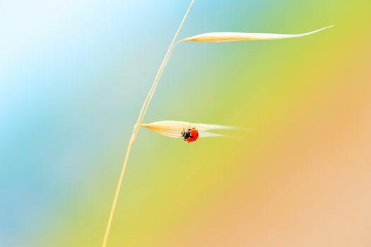Ladybird on the wheat stem