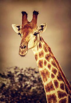 Wild South African giraffe