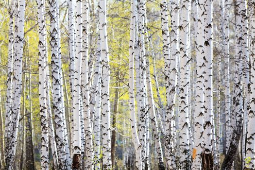 Spring in the birch forest
