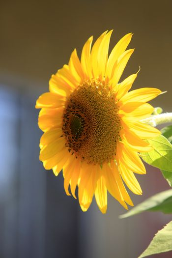 Flower of a sunflower on a background