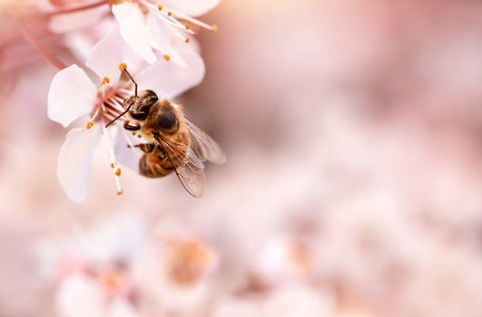 Little bee on blooming cherry