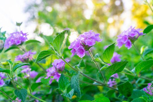 Beautiful purple flowers on the bush