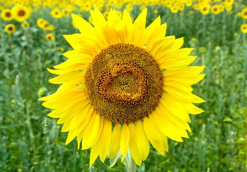 Close up view of sunflower in the field with green blurred background.